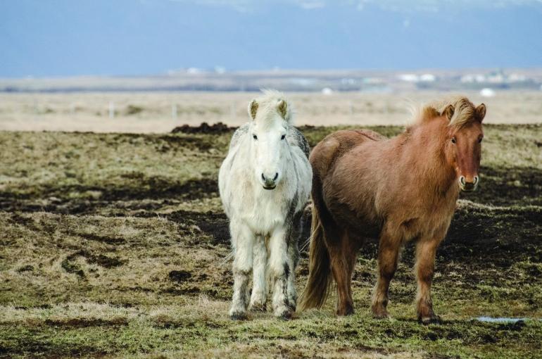 Icelandic Horses | Iceland | © Nana Trongratanawong | 2012