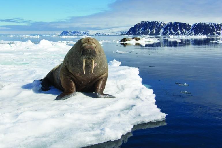 Walrus (Odobenus rosmarus) | Svalbard | Arctic | © Nana Trongratanawong | 2015
